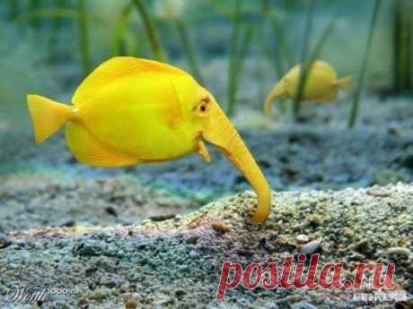 Редчайшая рыба-слон.