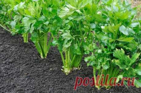 Выращивание сельдерея: корневого, черешкового и листового
