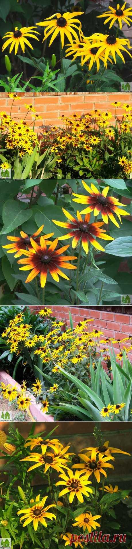 Фото рудбекии | Дачная жизнь - сад, огород, дача