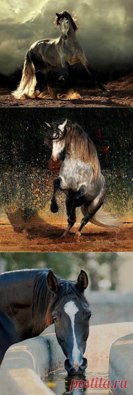 Сказочная красота — арабские и андалузские лошади