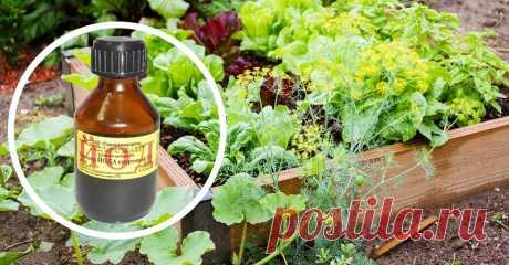Одна капля йода, и ты не узнаешь свой огород! Против фитофтороза, мучнистой росы и вредителей.