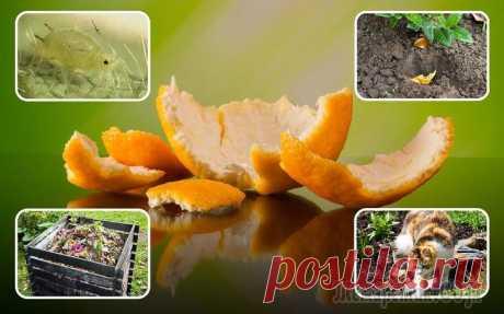 Апельсиновые корки – польза для сада и огорода, особенности применения на даче Кулинария и косметология не единственные сферы, где успешно применяется апельсиновая корка. В садоводстве и огородничестве этот пищевой отход становится все известнее, благодаря своим бесценным свойст...