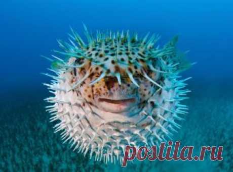 Почему рыба фугу раздувается, как шарик? Где обитают такие рыбки? Опасна ли эта рыба для человека и можно ли её употреблять в пищу?