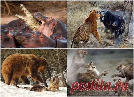 Топ-10 самых впечатляющих стычек животных : НОВОСТИ В ФОТОГРАФИЯХ