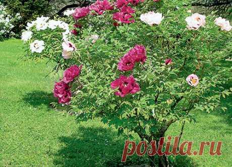 Пион - цветок благополучия [ad name=»content»] Китайцы называют древовидныйпионцарем цветов. Его изображения – неотъемлемая часть китайской культуры. Сады пионов издревле устраивали сначала при храмах, позже – при дворцах императора и вельмож. За многие сотни …