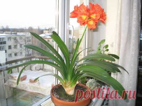 Валлота: 110 фото комнатного цветка + пошаговая инструкция, как ухаживать в домашних условиях