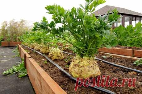 Как мы выращиваем сельдерей | Семена Партнер | Яндекс Дзен