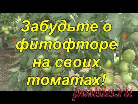 Почему у нас НЕТ фитофторы на томатах [защитный комплекс]