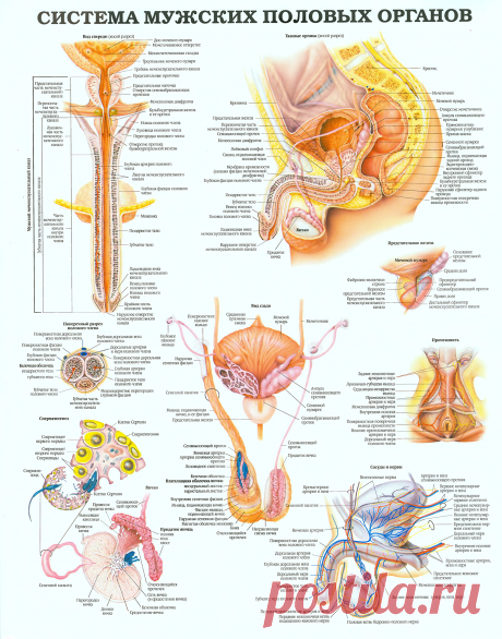 Система мужских половых органов