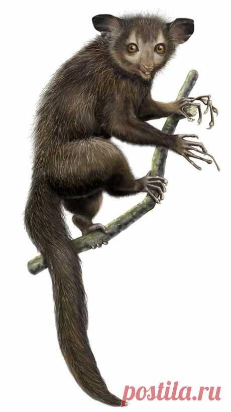 Мадагаскарская руконожка ай-ай. Описание, фото и видео руконожки ай-ай