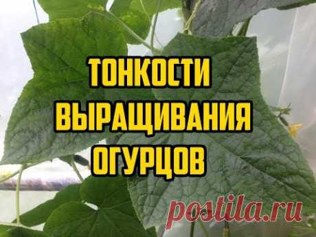 La cultivación de los pepinos en el terreno abierto \/ Todos los secretos en un vídeo