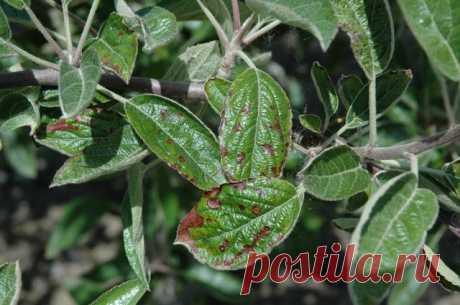 Чем обработать яблоню, грушу и сливу в июле против болезней и вредителей