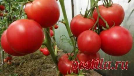 Сорта и гибриды томатов наиболее устойчивые к фитофторозу