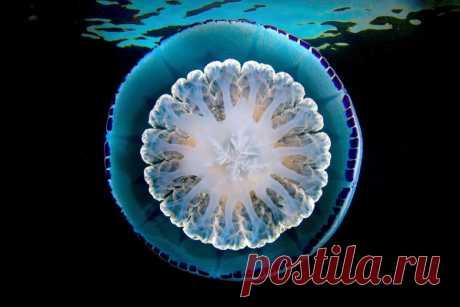 Медуза: так близко её еще никто не рассматривал! / Научный хит