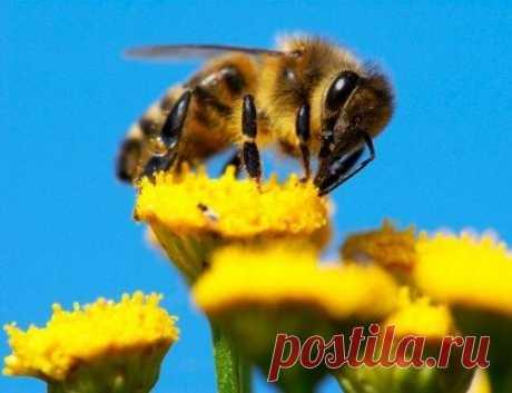 Топ-10: Удивительные факты о медоносных пчёлах Медоносные пчелы, с жужжанием перелетающие от цветка к цветку, являются признаком начала весны. Они в равной мере почитаемы, как чудо природы, и являются объектом ненависти, как досаждающие насекомые....