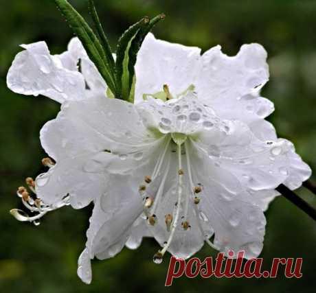 Цветок для эльфов... Рододендрон.