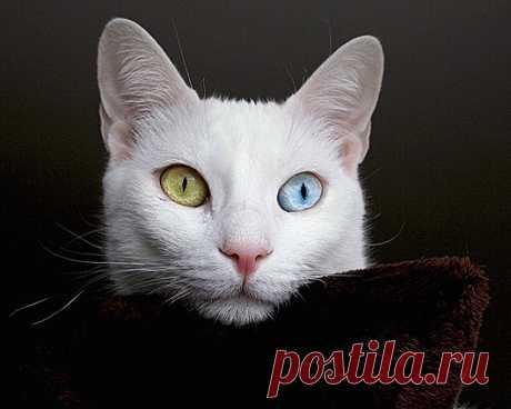 Самые удивительные породы кошек: Као мани