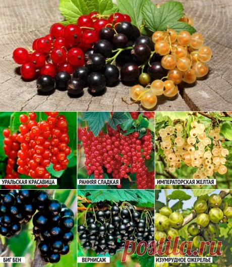 5 ошибок при выращивании смородины, которые лишают вас урожая   В саду (Огород.ru)