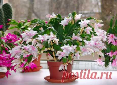 5 лучших подкормок декабриста для пышного цветения зимой | Все о цветоводстве | Яндекс Дзен