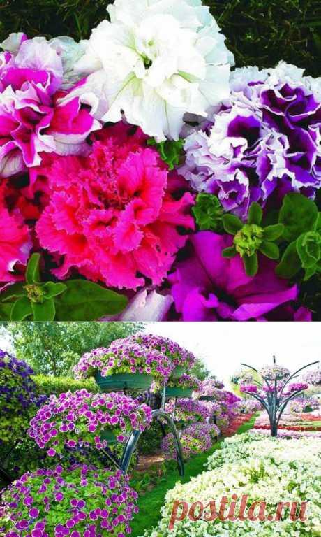 Los secretos del florecimiento abundante de las petunias.