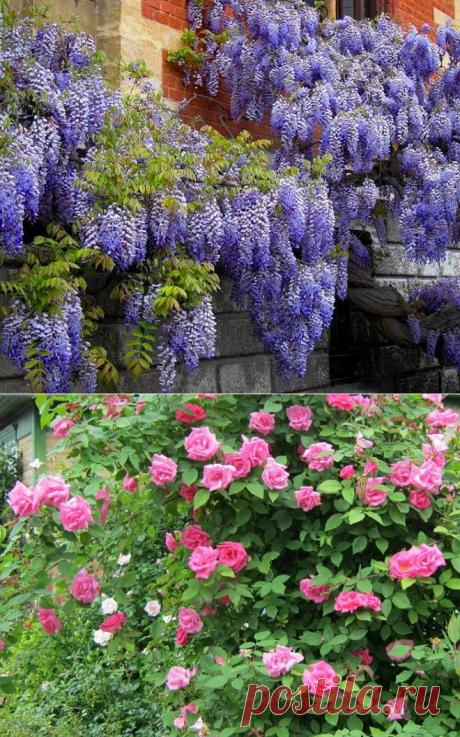 9 лучших быстрорастущих вьющихся цветов для забора, арок и шпалер на даче