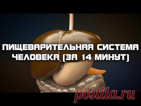 Пищеварительная система человека (за 14 минут)