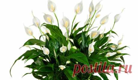 Цветок женское счастье: как ухаживать, пересаживать и размножать в домашних условиях