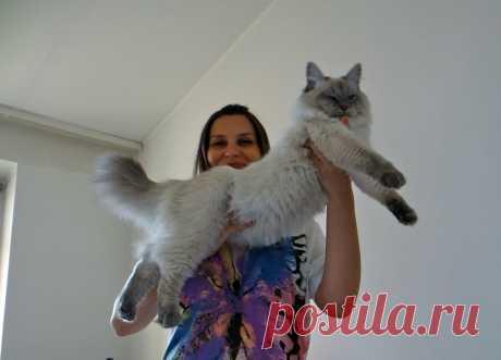 Невский маскарадный котик Ulian Formula Uspekha*rus, выпускник питомника Формула Успеха, живет в Польше.
