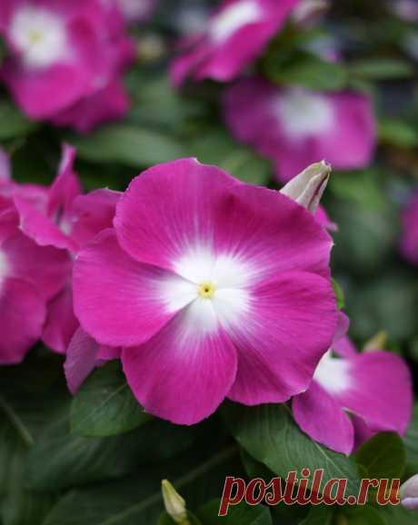 Катарантус - секреты выращивания, тонкости посадки и размножения