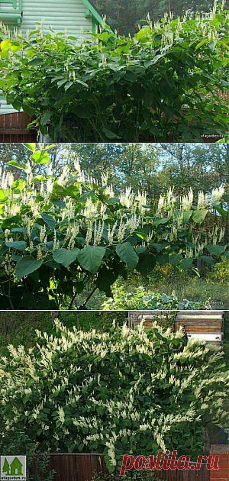 Горец сахалинский | Дачная жизнь - сад, огород, дача. Растение называется горец сахалинский, а в народе его называют сибирский бамбук. Растение крупное, высотой 3 метра, с красивой кроной. Родом с дальнего востока. Растет куртиной и быстро распространяется  за счет своих ползущих корней.  Листья большие, до 30 см. Стебли в диаметре до 3 см, внутри полые, очень похожи на бамбук.  Read more: https://www.ufagarden.ru/dekorativni-sad/gorec-saxalinskij.html