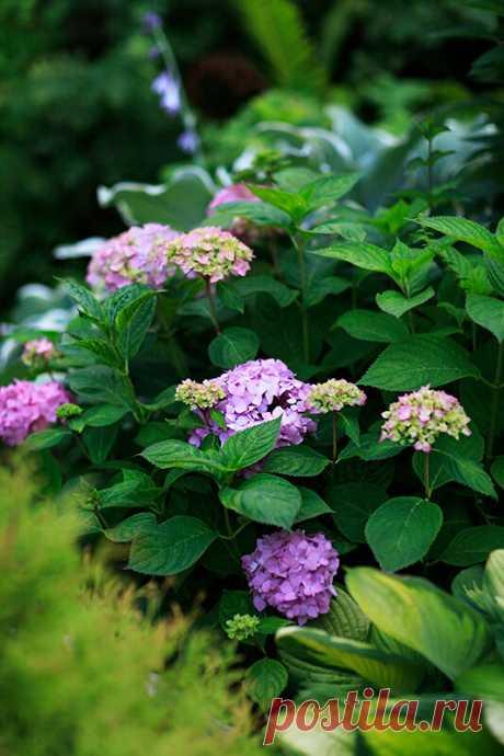 Гортензия крупнолистная: секреты пышного цветения | Хюгге на шести сотках | Яндекс Дзен