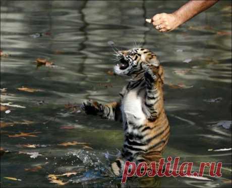 Первый заплыв трехмесячных тигрят   Приколы про котов :)