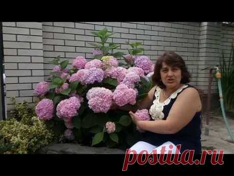 HOW TO ACHIEVE SMART BLOSSOMING OF THE HYDRANGEA.
