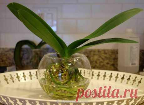 Почему не цветет орхидея и как уговорить ее выпустить новую стрелку? Усыпанные бутонами орхидеи не редкость для цветочного магазина. Но добиться повторного цветения (пусть и не столь обильного) в домашних условиях бывает непросто. Какой же нужен уход эпифитам, чтобы они регулярно формировали бутоны? Тенденция дарить орхидеи в горшке вместо традиционного букета...