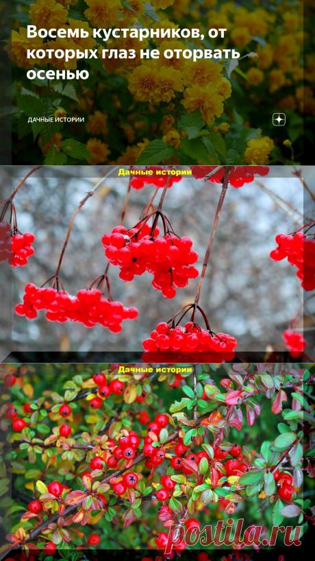 Восемь кустарников, от которых глаз не оторвать осенью | Дачные истории | Яндекс Дзен