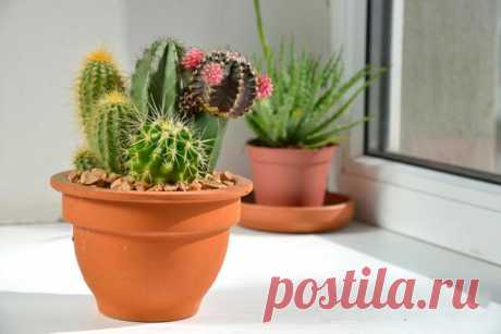 В каких условиях цветут кактусы и как заставить их это сделать