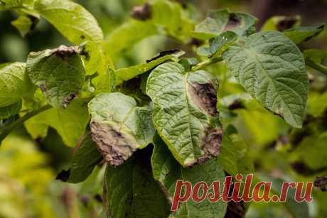 Картофель и фитофтора — как бороться экологичными методами? Фото — Ботаничка.ru