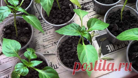 Рассада перца: растим без ошибок