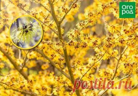 10 очаровательных кустарников, которые цветут ранней весной | Деревья и кустарники (Огород.ru)