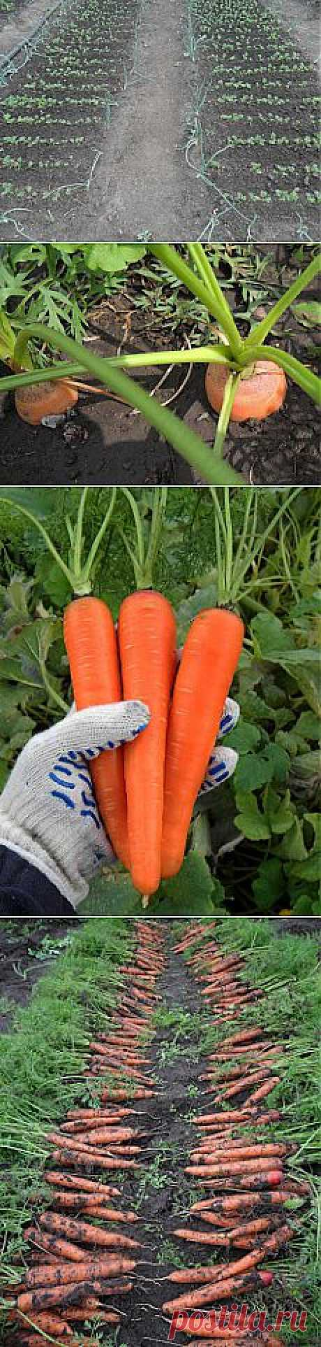 Как выращивать морковь на дачном огороде