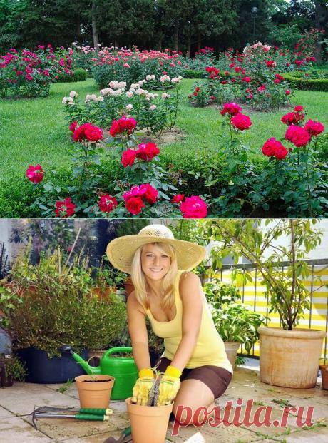 Необычное удобрение для роз - хлебная и травяная закваска