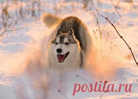 Хаски радуется снегу. Автор фото — Дмитрий Архипов: nat-geo.ru/photo/user/46766/