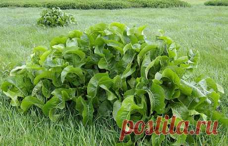 Листья хрена – единственные из растений, способные вытягивать соль через поры кожи - Подружки - медиаплатформа МирТесен