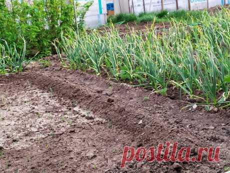 Когда убирать озимый чеснок с грядки или как понять по растениям его готовность к выкапыванию | Летний досуг | Яндекс Дзен