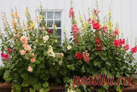 Мальва или шток-роза: что надо знать цветоводам - Дачный участок - медиаплатформа МирТесен