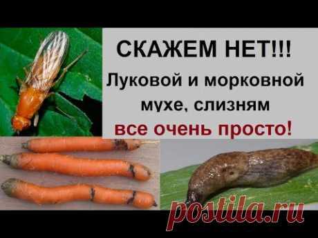 Как избавиться от луковой, морковной мухи, слизней и т.д.