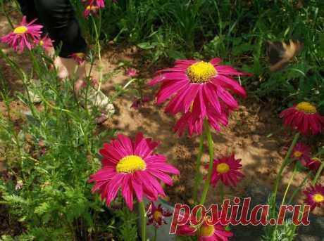 Пиретрум – разноцветные пышные ромашки