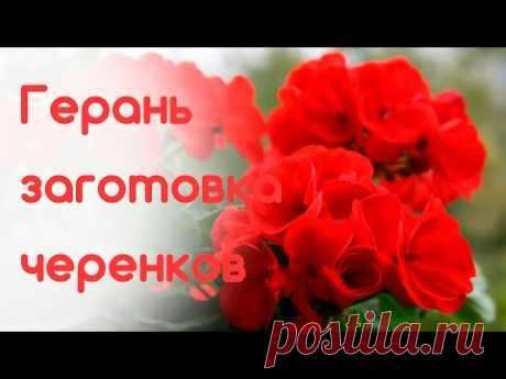 Герань (пеларгония) 1 сентября. Заготовка черенков на следующий сезон - YouTube