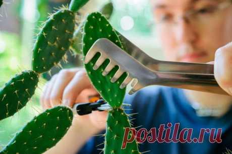 Правила размножения кактусов: пошаговая инструкция