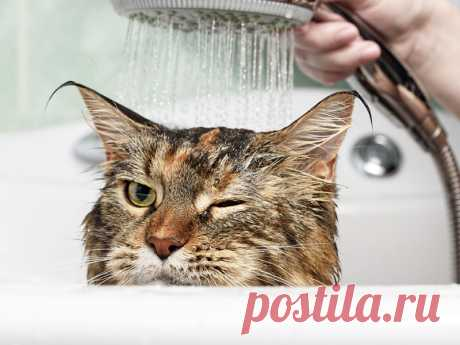 Как помыть кота и остаться в живых? | nashi-pitomcy.ru